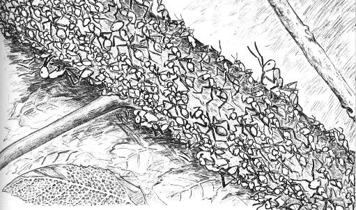 Drawing by Suzan Noguchi Swain