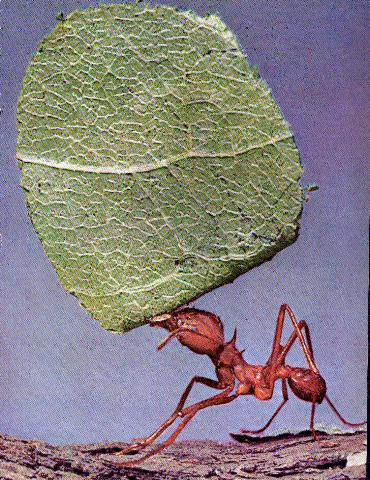 Hoarse the Ant